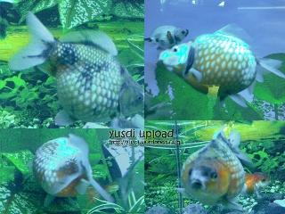 ikan mutiara